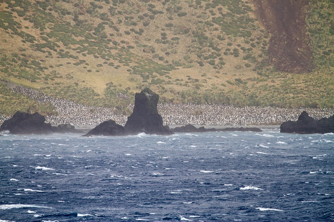 Macquarie Island penguin colony