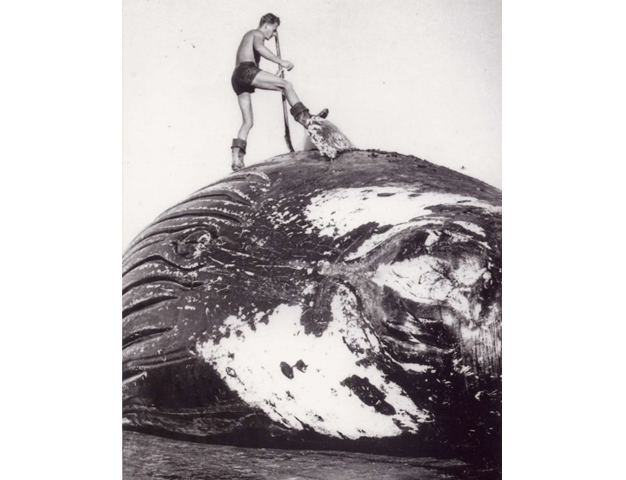 Old whaling records shine light on the life of humpback and sperm