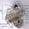 water-fleas