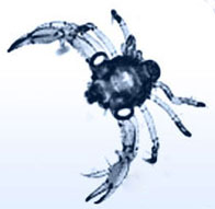 crab megalopa larva