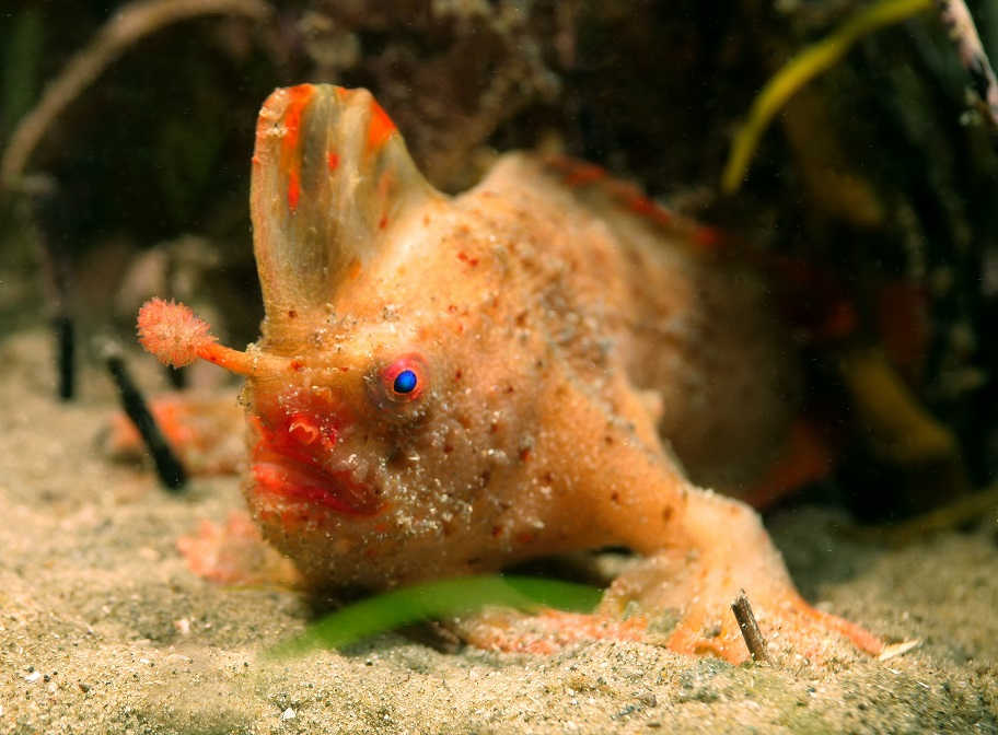 Name that handfish – and help save the world's rarest fish ...
