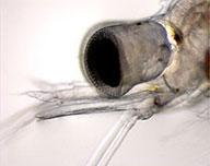 eye of juvenile decapod
